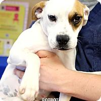 Adopt A Pet :: Botbot - Appleton, WI
