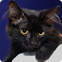 Adopt A Pet :: Midnight - Lenexa, KS