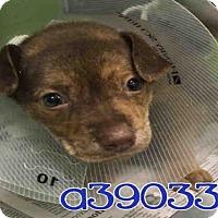 Adopt A Pet :: REY - San Antonio, TX