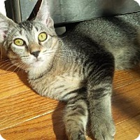 Domestic Shorthair Kitten for adoption in Westerly, Rhode Island - Pippa