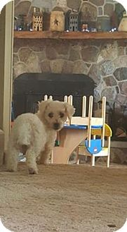 Bichon Frise Dog for adoption in ROME, New York - Cinderella
