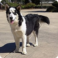 Husky/Australian Shepherd Mix Dog for adoption in Lathrop, California - Luna