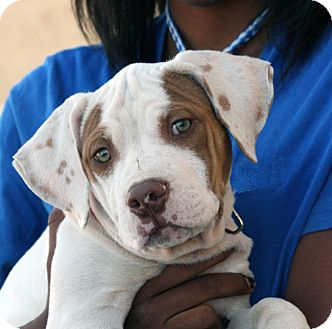 Pit Bull Terrier Mix Puppy for adoption in Palmdale, California - Rascal