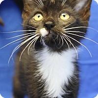 Domestic Shorthair Kitten for adoption in Winston-Salem, North Carolina - Adam