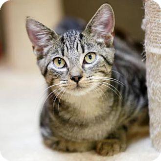 Domestic Shorthair Kitten for adoption in Kettering, Ohio - Cacti