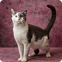 Adopt A Pet :: Leopardo DiCatrio - Harrisonburg, VA