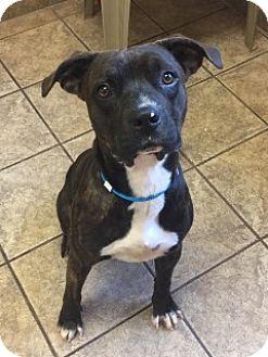 Pit Bull Terrier Mix Dog for adoption in Joplin, Missouri - Leland Vtg  107164