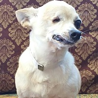 Chihuahua Dog for adoption in Houston, Texas - WILLIE