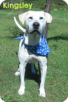 Labrador Retriever Mix Dog for adoption in Menomonie, Wisconsin - Kingsley