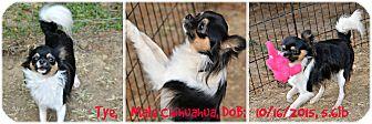 Chihuahua Dog for adoption in Siler City, North Carolina - Tye