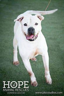 American Bulldog/Boxer Mix Dog for adoption in Godfrey, Illinois - Chicago