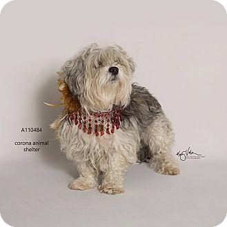 Shih Tzu Mix Dog for adoption in Corona, California - JACK