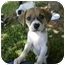 Photo 1 - Beagle/Rat Terrier Mix Puppy for adoption in West Warwick, Rhode Island - Darling Beagle Mix Puppies!