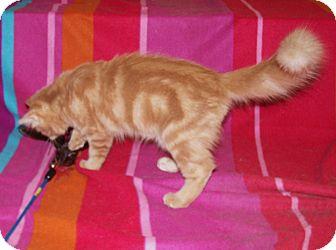 Maine Coon Kitten for adoption in Scottsdale, Arizona - Hawk