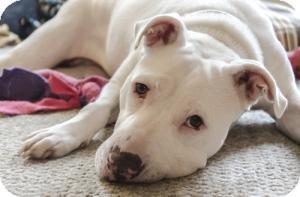 American Pit Bull Terrier/American Bulldog Mix Dog for adoption in Lancaster, Pennsylvania - Missy Stevens