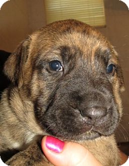 German Shepherd Dog/Mastiff Mix Puppy for adoption in Middleburg ...