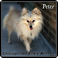 Adopt A Pet :: Peter - Elmhurst, IL
