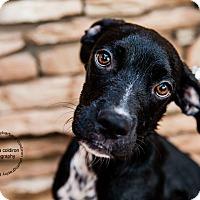 Adopt A Pet :: Joel - Scottsdale, AZ