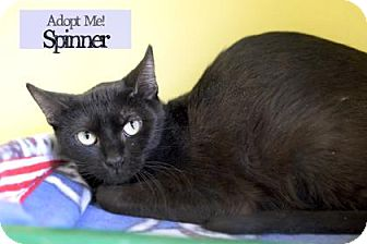 Domestic Shorthair Cat for adoption in West Des Moines, Iowa - Spinner