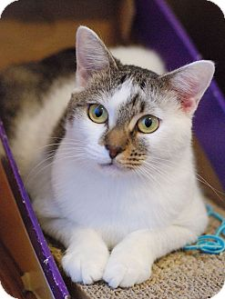 Domestic Shorthair Cat for adoption in Chattanooga, Tennessee - Betsy