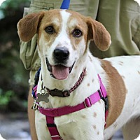 Pointer/Labrador Retriever Mix Dog for adoption in Cary, North Carolina - Addie