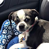 Adopt A Pet :: Sophie is a Bugg! - Redondo Beach, CA