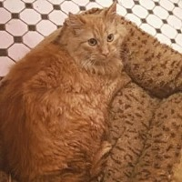 Domestic Mediumhair Cat for adoption in Shakopee, Minnesota - Pookie C1088