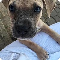 Adopt A Pet :: MAX - HARRISBURG, PA