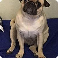 Pug Dog for adoption in Gardena, California - Spunky