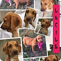 Adopt A Pet :: Lucille - Brattleboro, VT