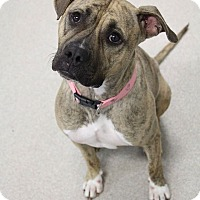 American Staffordshire Terrier/Labrador Retriever Mix Dog for adoption in Manitowoc, Wisconsin - Mocha