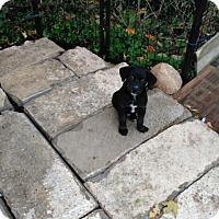 Labrador Retriever/Border Collie Mix Puppy for adoption in Denver, Indiana - 2 boys