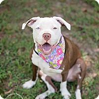 Adopt A Pet :: Tonks - Seattle, WA