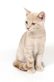 Domestic Shorthair Kitten for adoption in Lombard, Illinois - Tad