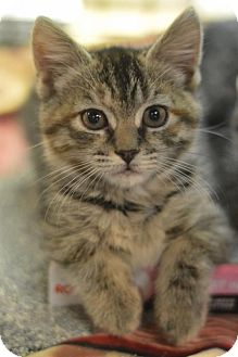 Domestic Shorthair Kitten for adoption in Madison, New Jersey - Lilly
