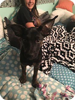 Labrador Retriever/Shepherd (Unknown Type) Mix Puppy for adoption in Mary Esther, Florida - Venus