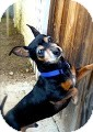 Dachshund Mix Dog for adoption in Irvine, California - Ty