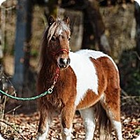 Adopt A Pet :: Licorice - Gresham, OR