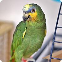 Adopt A Pet :: Rockee - Villa Park, IL