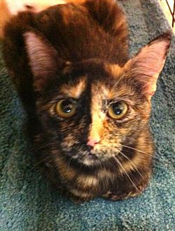 Domestic Mediumhair Cat for adoption in Bogalusa, Louisiana - Mini