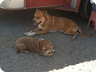 American Pit Bull Terrier/Labrador Retriever Mix Dog for adoption in Phelan, California - Quinn