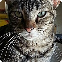 Domestic Shorthair Cat for adoption in Encino, California - OLLIE