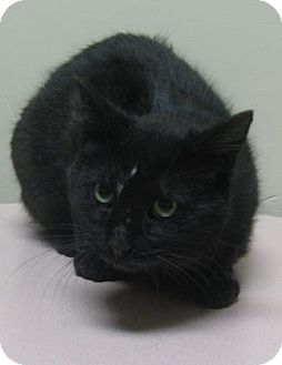 Domestic Shorthair Cat for adoption in Gary, Indiana - Pepper