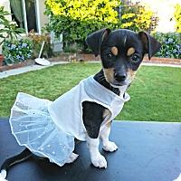 Adopt A Pet :: Venus is just a puppy! - Redondo Beach, CA