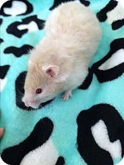 Hamster for adoption in Grand Rapids, Michigan - Emily