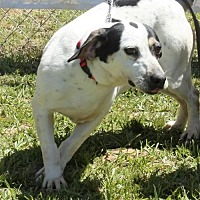 Jack Russell Terrier Mix Dog for adoption in Grayson, Louisiana - Dominoe
