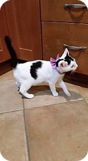 Domestic Shorthair Kitten for adoption in Bridgewater, New Jersey - BOW