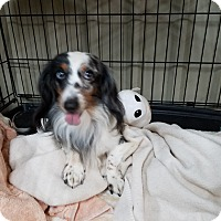 Dachshund Dog for adoption in Lubbock, Texas - Louie