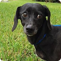 Adopt A Pet :: Inca - Weston, FL