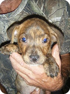 Staffordshire Bull Terrier/Dachshund Mix Puppy for adoption in Mansfield, Texas - Bear